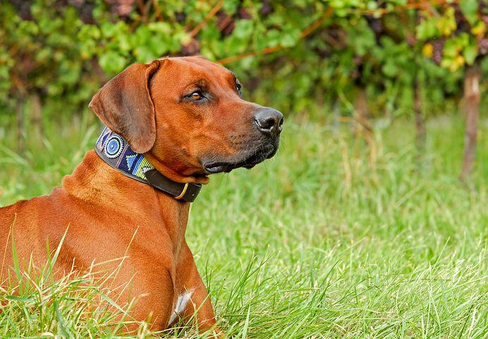 Pourquoi un chien mange parfois de l'herbe ?